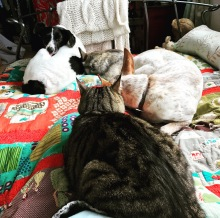 testing. The cat is not happy that the dogs are on his bed...